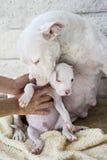 Cucciolo misto della razza con la mamma Fotografia Stock Libera da Diritti