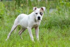Cucciolo misto della razza del bulldog americano con l'occhio azzurro immagine stock