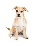 Cucciolo misto sveglio di Terrier della razza Immagini Stock Libere da Diritti