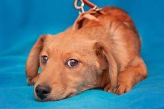 Cucciolo molto giovane che si rilassa sul blu fotografia stock