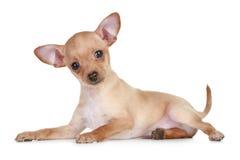 Cucciolo molto piccolo del terrier di giocattolo Fotografie Stock