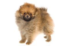 Cucciolo molto piccolo di Pomeranian su priorità bassa bianca Immagini Stock Libere da Diritti