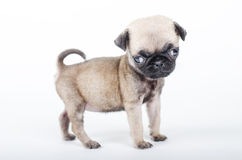 Cucciolo neonato del carlino fotografia stock libera da diritti