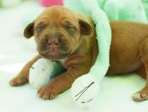 Cucciolo neonato di Rhodesian Ridgeback Immagini Stock