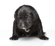 Cucciolo nero Fotografia Stock Libera da Diritti