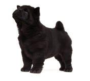 Cucciolo nero del chow-chow Immagini Stock