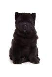Cucciolo nero del chow-chow Fotografia Stock