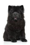 Cucciolo nero del cibo di cibo Fotografia Stock Libera da Diritti