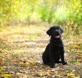 Cucciolo nero del documentalista di labrador Fotografie Stock Libere da Diritti
