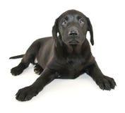 Cucciolo nero del laboratorio Immagine Stock Libera da Diritti