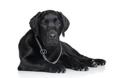 Cucciolo nero del labrador Fotografia Stock