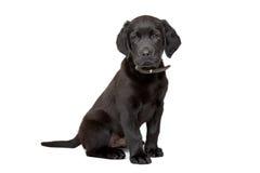Cucciolo nero del labrador Immagini Stock Libere da Diritti