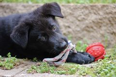 Cucciolo nero del pastore tedesco fotografie stock