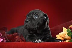 Cucciolo nero della razza la canna Corso Fotografia Stock