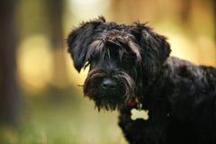 Cucciolo nero dello schnauzer miniatura che sta all'aperto Fotografia Stock
