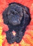 cucciolo nero di cockapoo fotografie stock