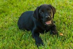 Cucciolo nero di Labrador Fotografie Stock Libere da Diritti