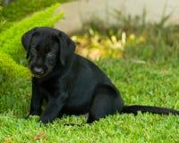 Cucciolo nero di Labrador Fotografia Stock