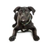 Cucciolo nero obbediente dell'incrocio di Labrador Immagine Stock