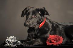 Cucciolo nero sul fondo del chemnit Fotografia Stock Libera da Diritti
