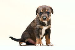 Cucciolo no 1 del cane Immagine Stock