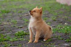 Cucciolo obbediente sull'erba Immagine Stock