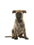 Cucciolo olandese sveglio del pastore Immagine Stock Libera da Diritti