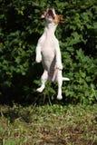 Cucciolo pazzo di salto del terrier di russell della presa Immagine Stock