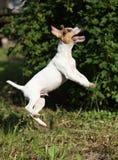 Cucciolo pazzo di salto del terrier di russell della presa Immagini Stock Libere da Diritti