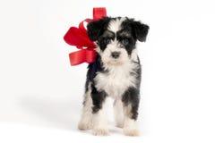 Cucciolo per il presente. Fotografia Stock Libera da Diritti
