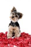 Cucciolo in petali di rosa Fotografia Stock