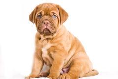 Cucciolo piacevole Immagini Stock