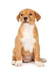 Cucciolo piccolo sveglio dell'incrocio Fotografie Stock