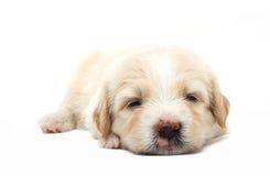Cucciolo pigro fotografia stock