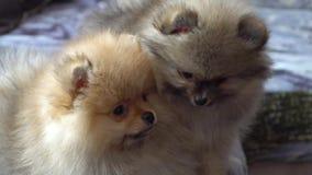 Cucciolo pomeranian adorabile, bello e sveglio video d archivio