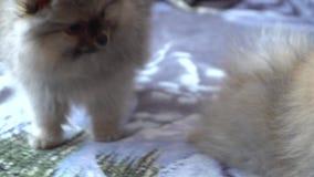 Cucciolo pomeranian adorabile, bello e sveglio stock footage