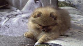 Cucciolo pomeranian adorabile e bello e sveglio stock footage