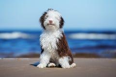 Cucciolo riccio adorabile su una spiaggia immagini stock