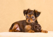Cucciolo rosso che si trova sul cuscino Cane con le orecchie floscie Immagini Stock