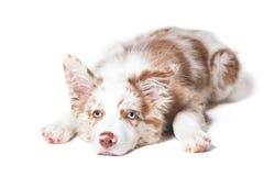 Cucciolo rosso di border collie del merle, ritratto su fondo bianco fotografie stock libere da diritti
