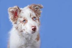 Cucciolo rosso di border collie del merle sui precedenti blu fotografia stock