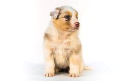 Cucciolo rosso di Merle Australian Shepherd Fotografie Stock