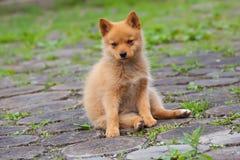 Cucciolo rosso di seduta sull'erba Fotografia Stock Libera da Diritti