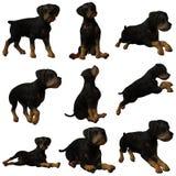Cucciolo Rottweiler Fotografie Stock