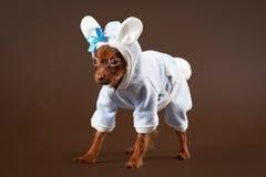 Cucciolo russo del terrier di giocattolo Fotografia Stock Libera da Diritti