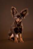Cucciolo russo del terrier di giocattolo Fotografie Stock