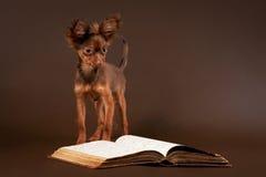 Cucciolo russo del terrier di giocattolo con il libro Fotografia Stock Libera da Diritti