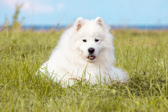 Cucciolo samoiedo Immagine Stock
