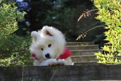 Cucciolo samoiedo Fotografie Stock