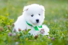 Cucciolo samoiedo all'aperto di estate Immagine Stock
